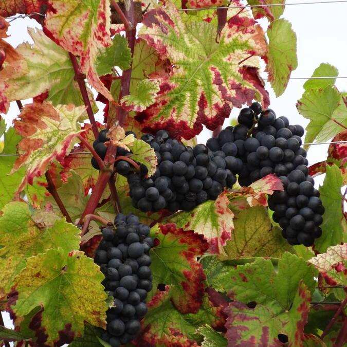 Druivenras Pinot noir