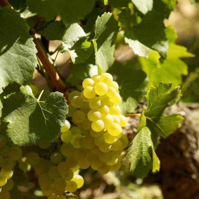 Montrachet, Chardonnay