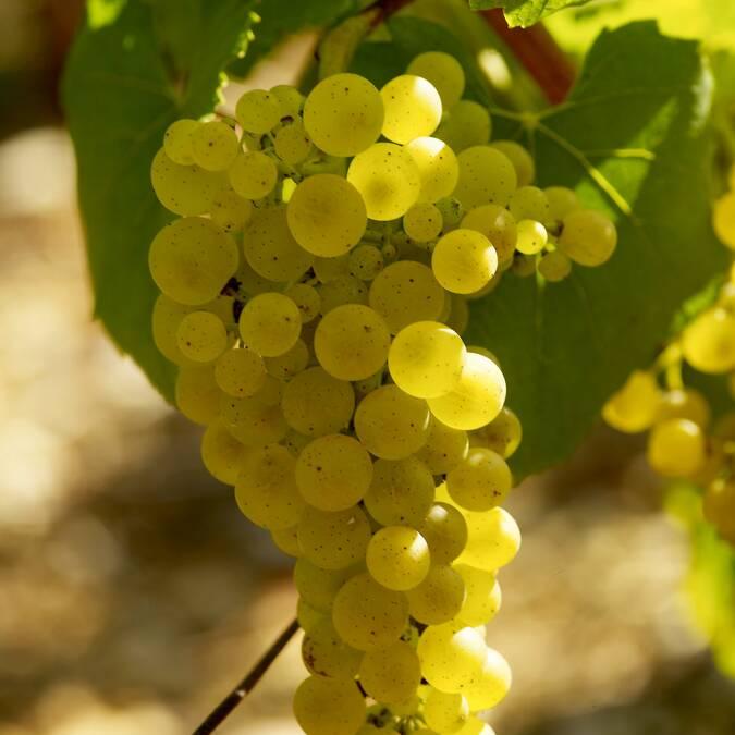 Trossen van Chardonnay