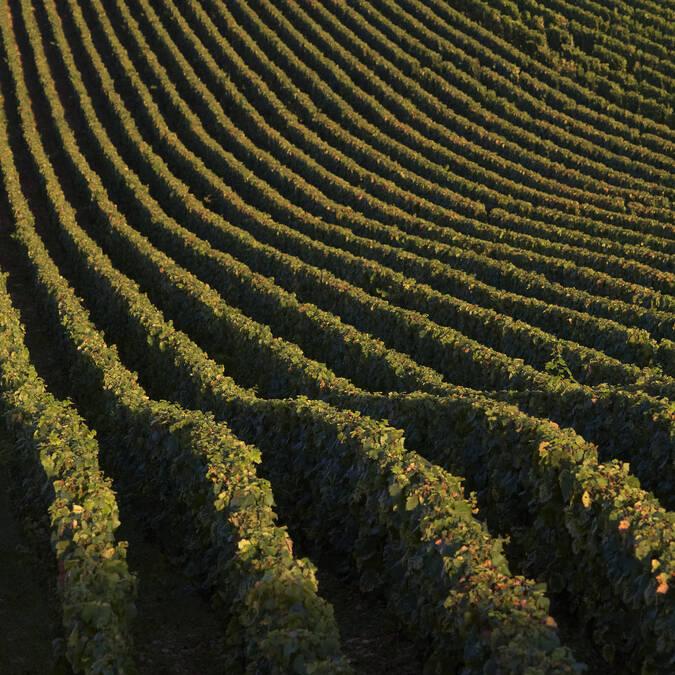 Wijngaarden van Meursault